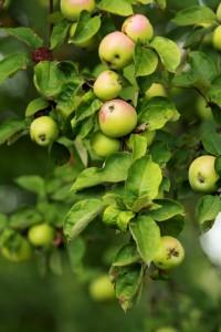 свойства, яблоки, польза